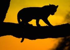 leopard silhouette_225