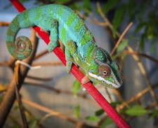 Bright and colorful chameleon sitting on a red branch